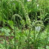 Pluskwica groniasta (Actea racemosa)