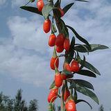 Kolcowój pospolity i jagody goji (Lycium barbarum)