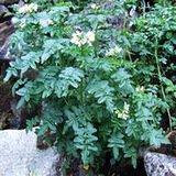 Rzeżucha  (Cardamine L.)